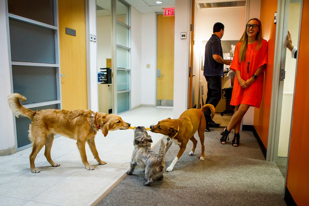 """F Media coordinator Sharon Lowe laughs as her dog Lola (right) plays with her coworkers' dogs in the hallway outside offices at The Loomis Agency,  on Thursday, Aug. 3, 2017, in Dallas. Not only is the office dog friendly, but is central to the agency's motto, """"The Voice of the Underdog."""""""