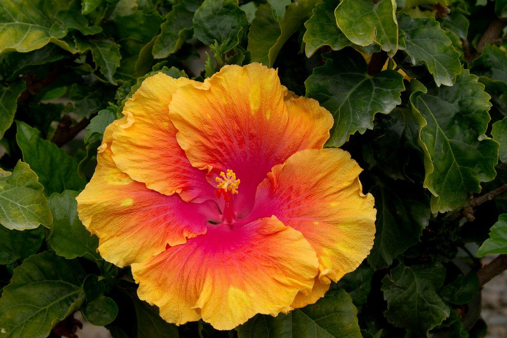 'The Path' hibiscus from Monrovia