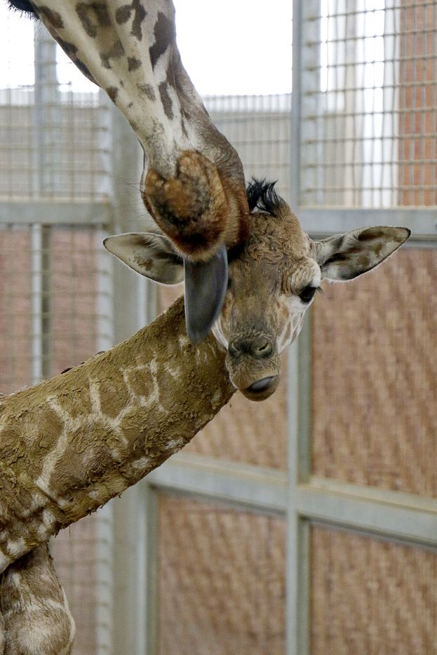 Katie the giraffe gave birth May 30 to a 150-pound baby boy. The still-unnamed calf is the zoo's first since 2015.