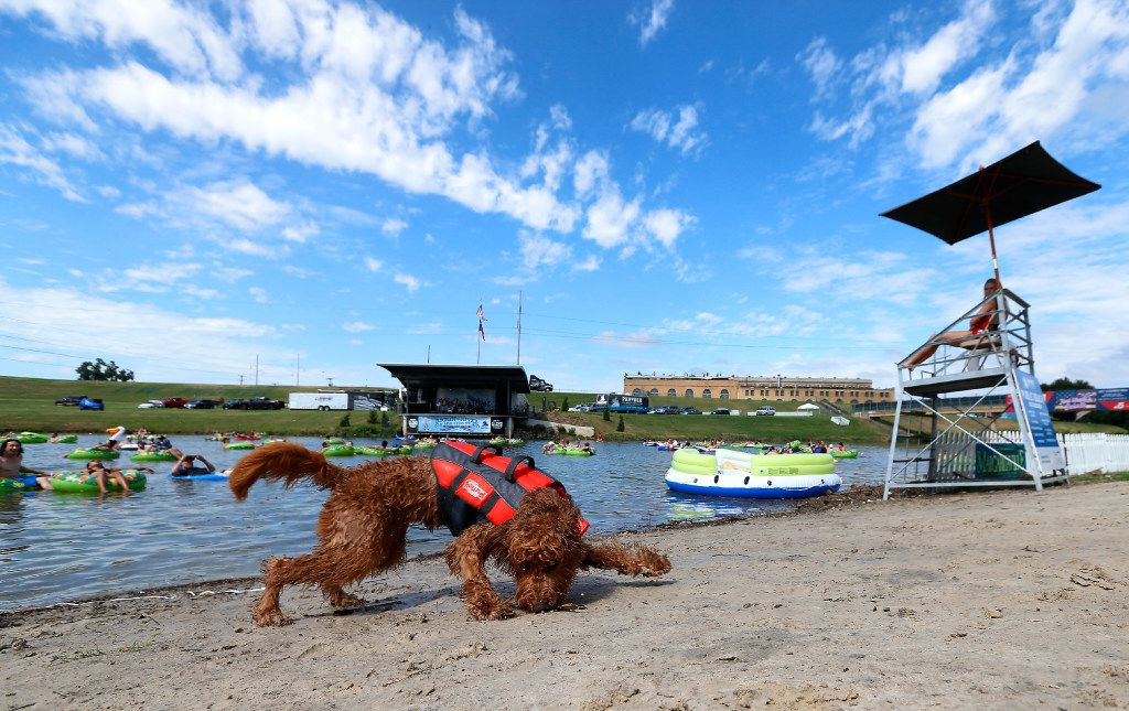 One-year-old dog Penny gets a stick on the shore of the Trinity River during Rockin' the River at Panther Island Pavilion in Fort Worth.