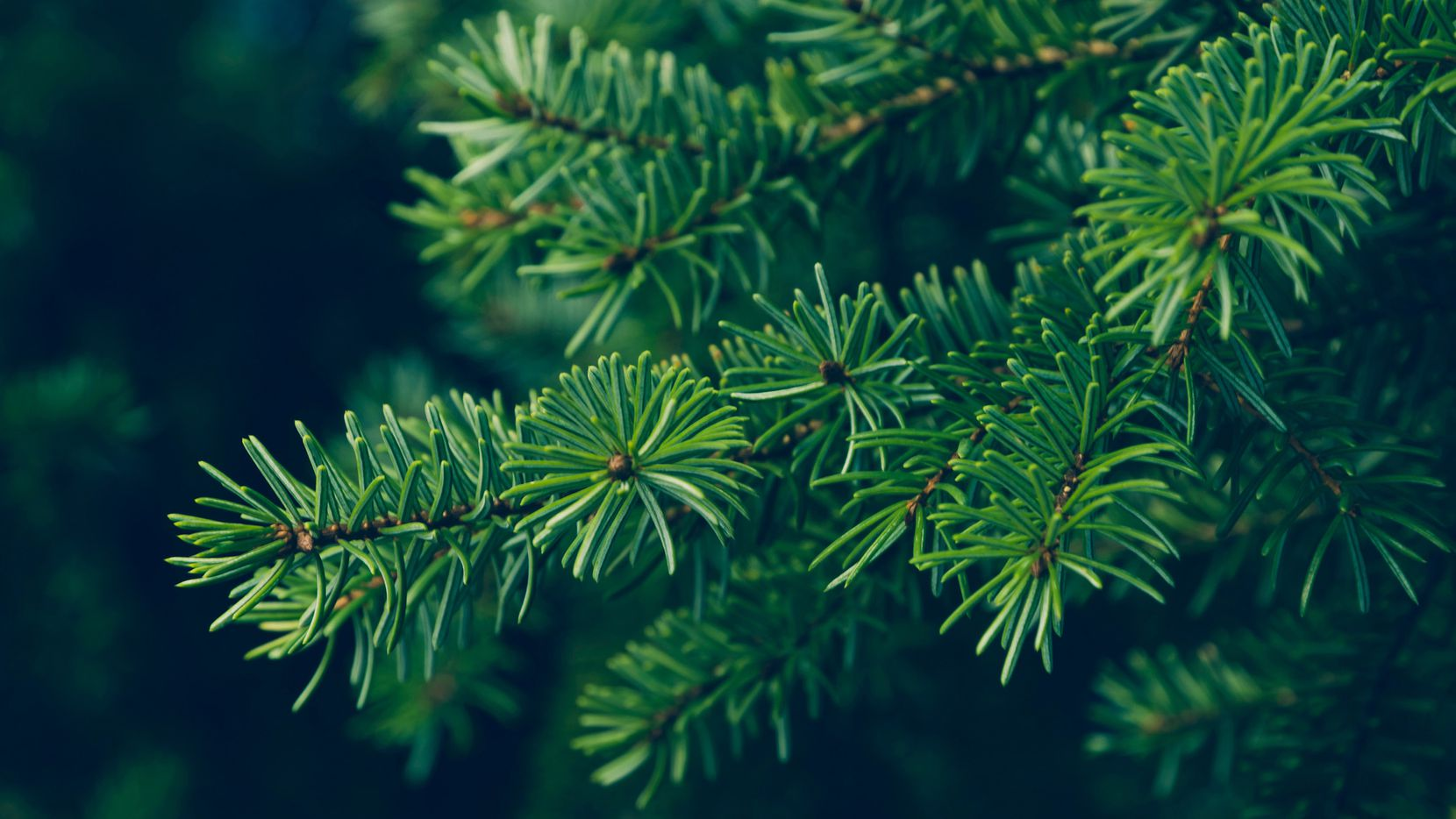 Evergreen needle leaves are smaller and have less surface area than deciduous leaves, so they survive cold temperatures better.