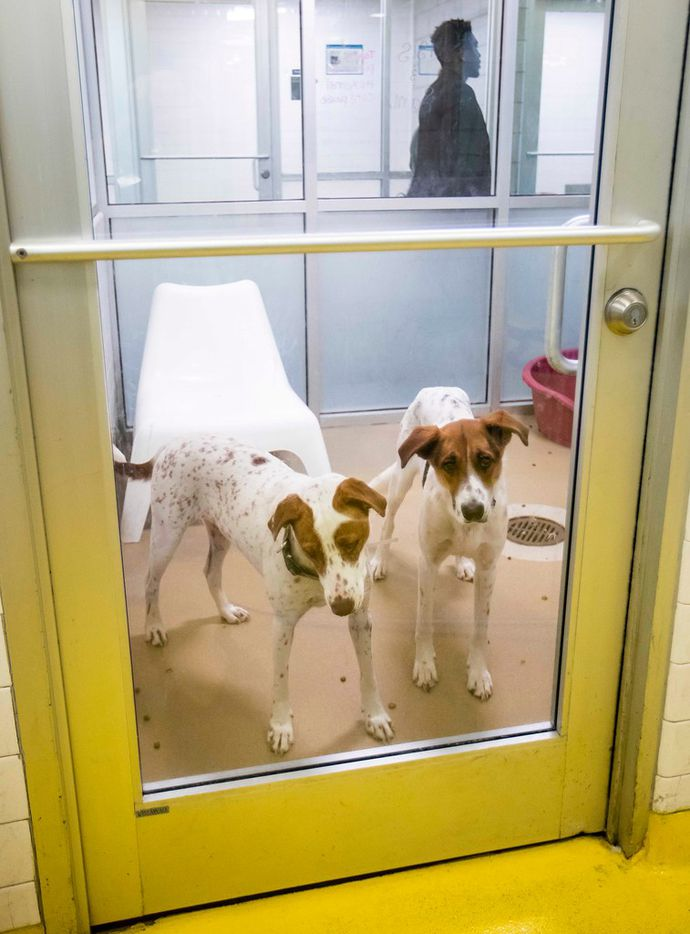 A pair of dogs awaiting adoption look out from their kennel at the Dallas Animal Services & Adoption Center on Monday, June 11, 2018, in Dallas.