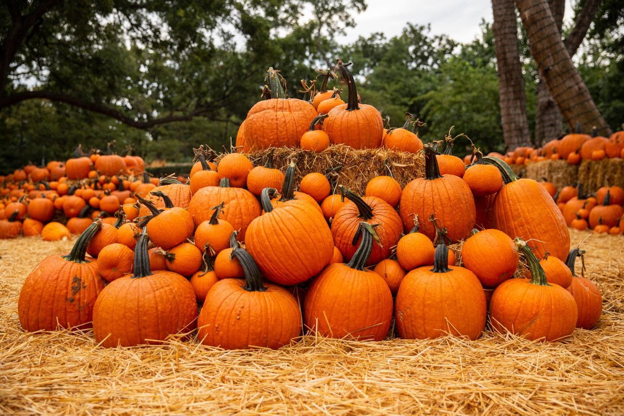 Pumpkins on display at the Dallas Arboretum's Pumpkin Village on Sept. 9, 2020 in Dallas.