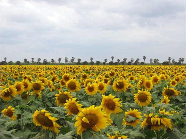 Past seasons have brought bountiful color to state parks and highways like these sunflowers in full bloom near Brownsville.