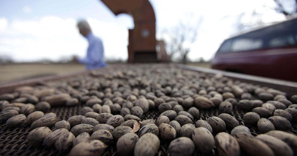 Texas Pecans Could Be More Expensive This Year Thanks To 2018 S Drought Heavy Rains
