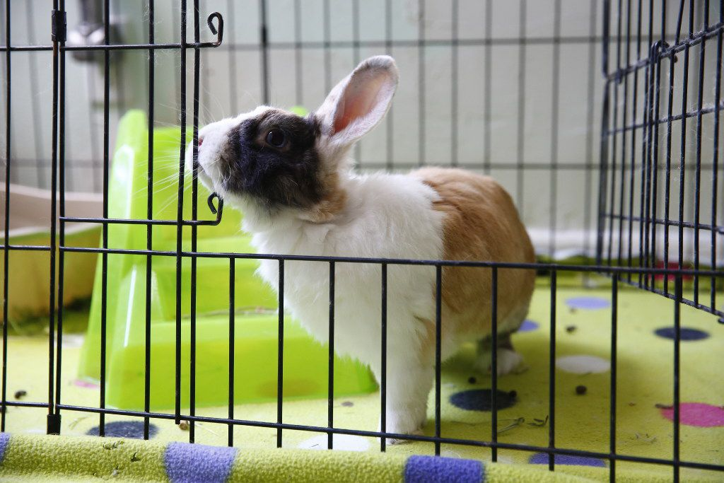 """Barney the bunny lives in a cage inside Dianna Leggett's home, which features a """"rehab room"""" for rabbits on the mend."""