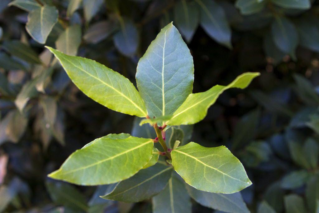 A bay leaf bush