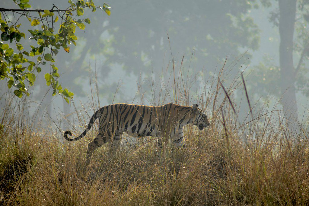 A tigress walks along a ridgeline in India's Kanha National Park.