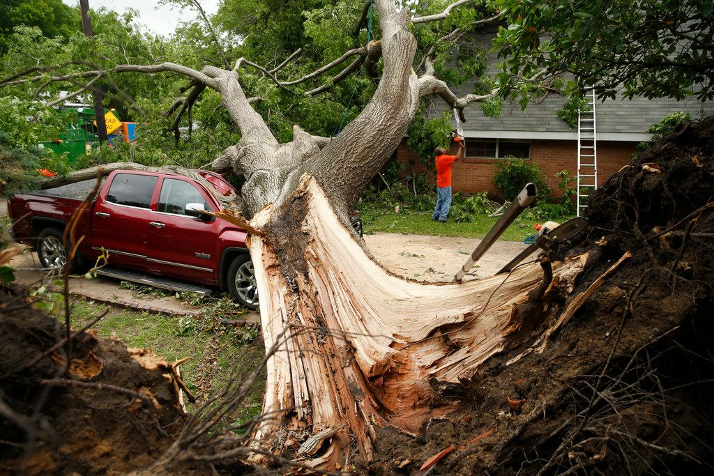 A red oak tree that fell as a tornado passed through Denton, Texas the previous day is seen on Wednesday, May 1, 2019. The tree, planted in the 1960s, crushed the pickup truck and punctured a hole in the roof of the house and a bedroom ceiling, letting rain pour in. (Vernon Bryant/The Dallas Morning News)