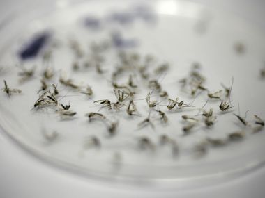 Mosquitoes collected from a trap await examination in the Dallas County Mosquito Lab in this file photo. The staff records the number captured from each trap, the species and sex, then sends any female house mosquitos to be tested for West Nile virus.