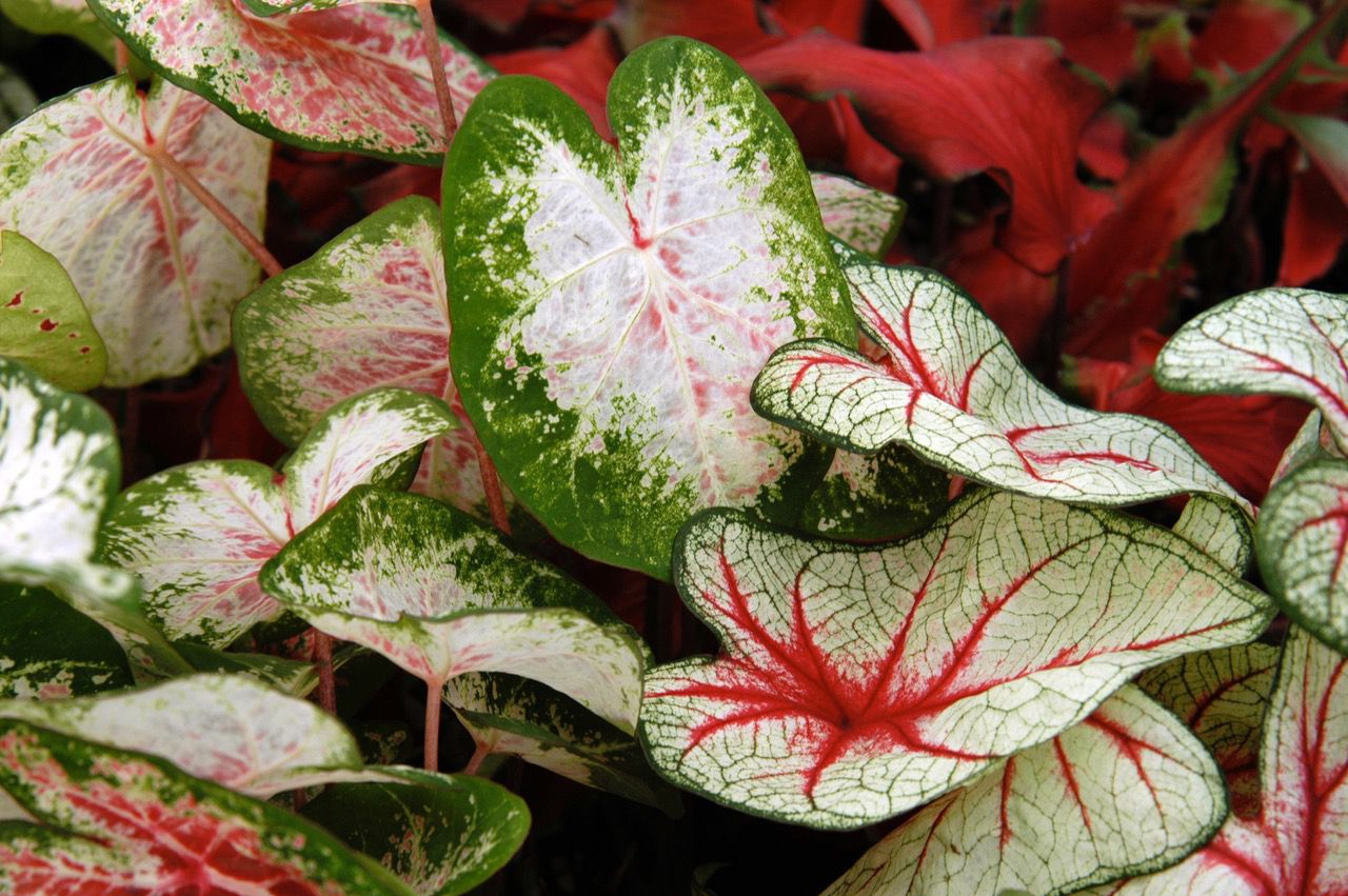 The soil temperature is now warm enough to plant caladium bulbs.