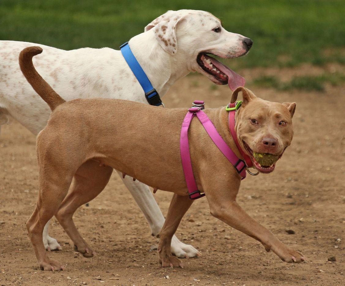 Two dogs enjoy  a stroll together at the Bark Park in Deep Ellum, photographed on Saturday, April 1, 2017.
