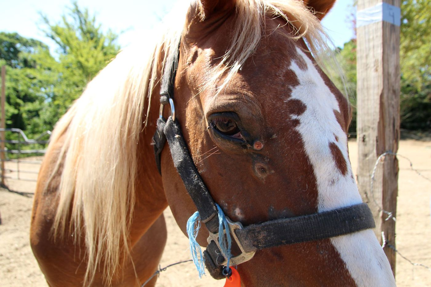 One of the horses seized by the SPCA in Dallas County.