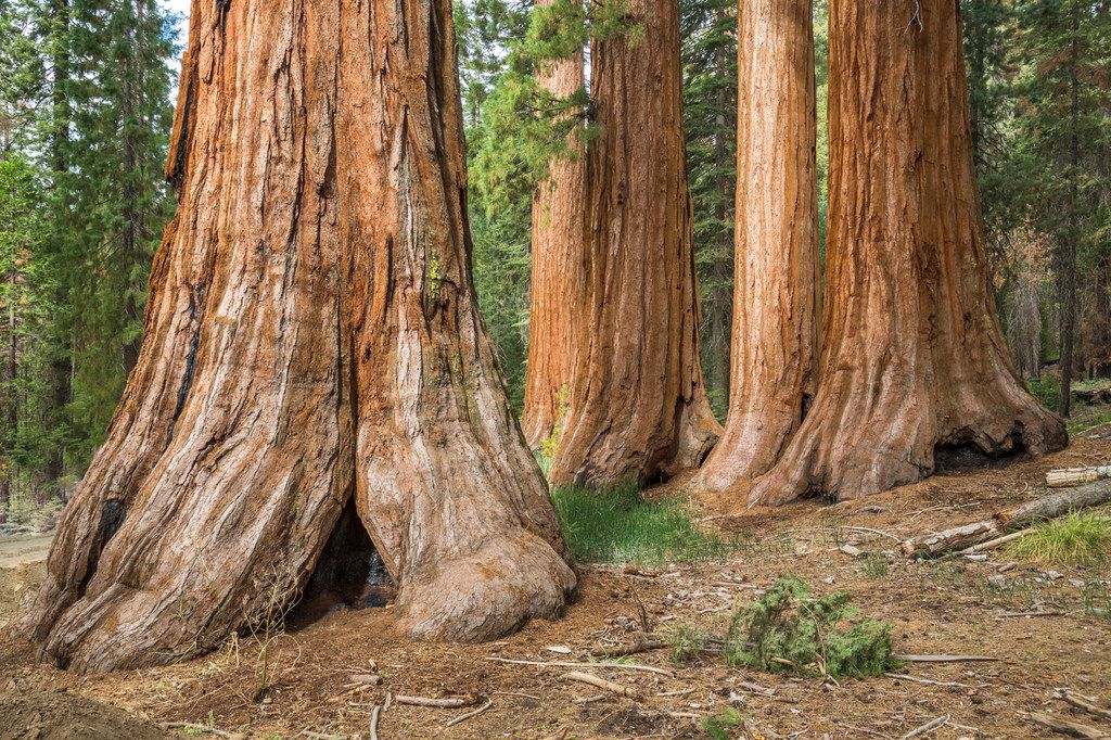 In addition to roaring waterfalls, Yosemite National Park boasts some of the largest Sequoia trees in the world in its Mariposa Grove.