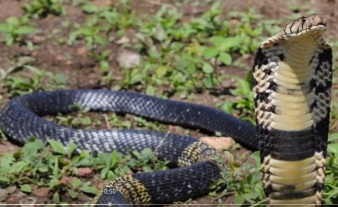The highly venomous 6-foot-long forest cobra in Grand Prairie has its own Twitter account now.