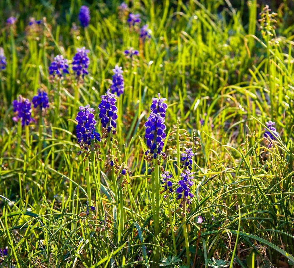Grape Hyacinth (Muscari spp.)