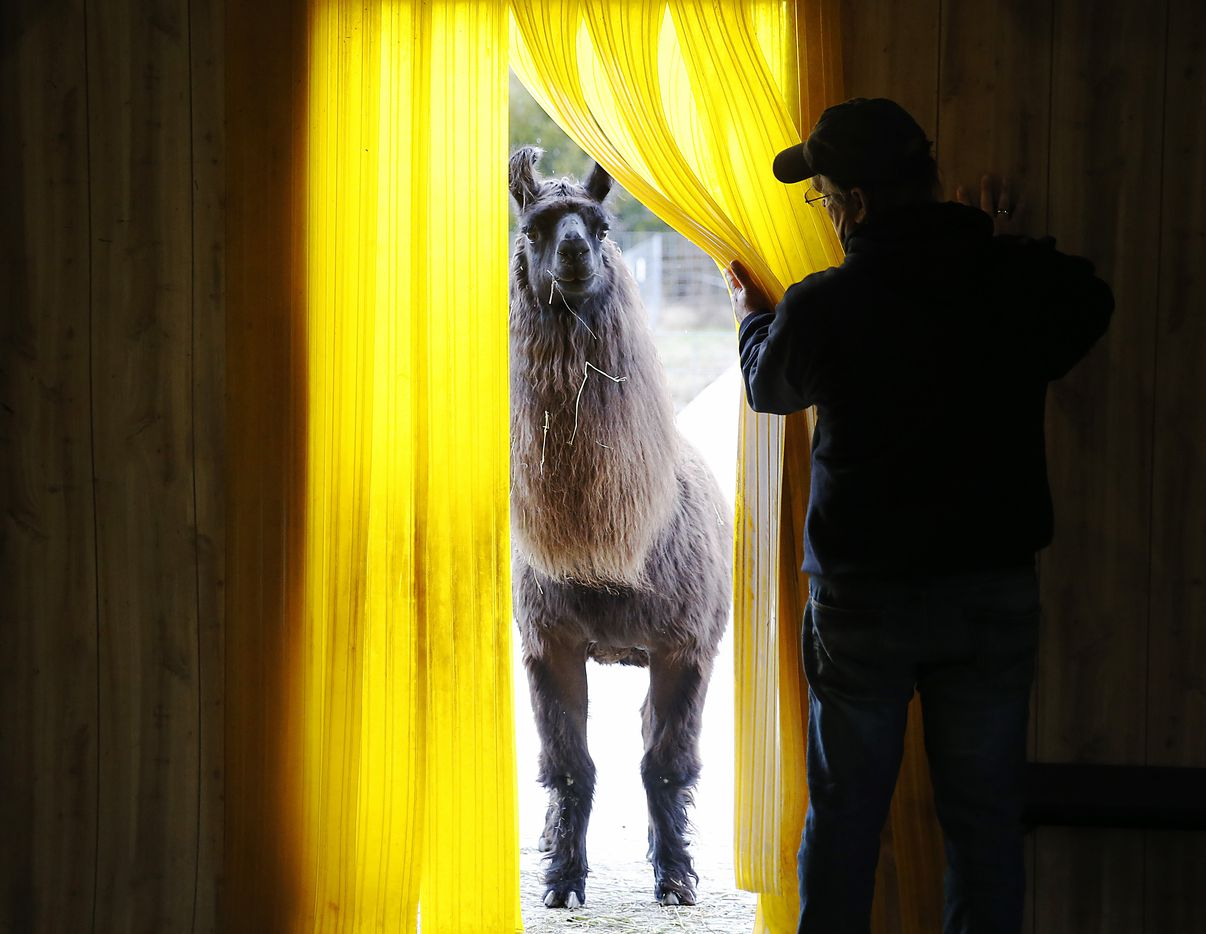 Barack O'Llama prepares to enter the barn as Paul Brucato assists with the opening at ShangriLlama Castle in Royse City, Texas on Wednesday, February 12, 2020.