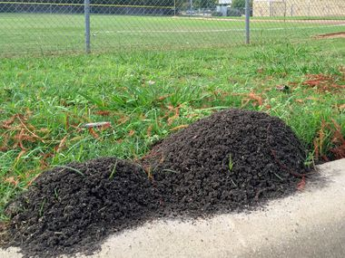 How To Get Rid Of Fire Ants And Leaf Cutter Ants Using Organic Methods