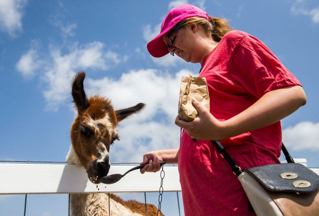 Austen Wheeler feeds a llama at the Gentle Zoo.