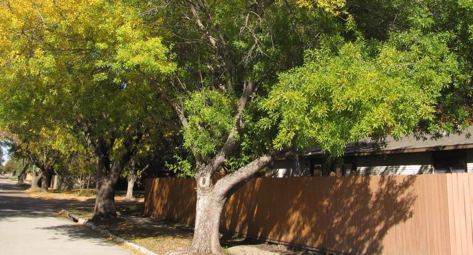Arizona ash may be pretty and effective along streams in Arizona, but it's not a good fit for yards in North Texas.
