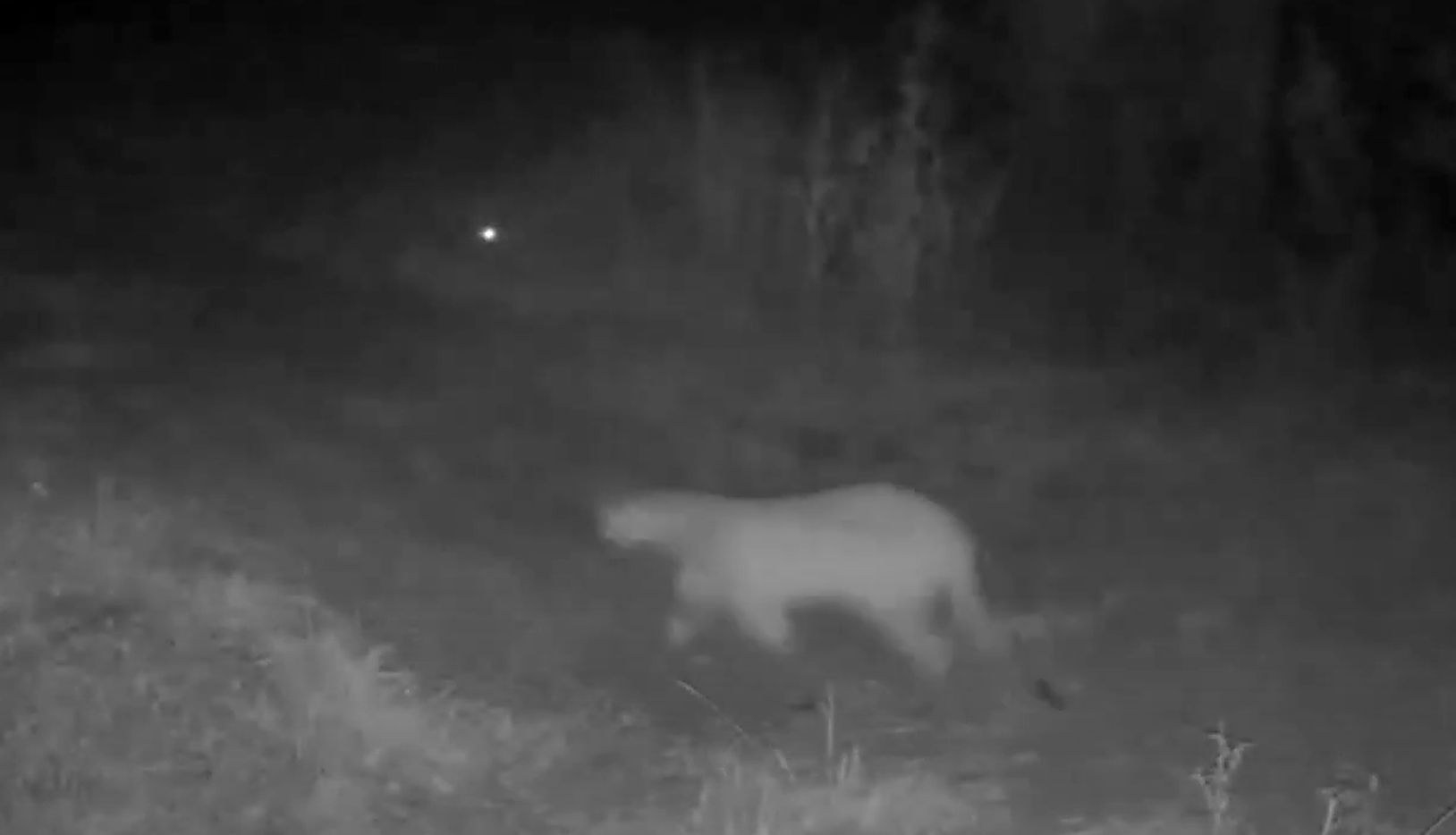 A framegrab from Stephanie Higgins, Rowlett, recent post on her Facebook page from a night vision trail camera video of a mountain lion walking down a dirt road at night. The spooky image showed a big cat with a long tail that touched the ground, a feature that distinguishes it from a bobcat for which the mountain lion is commonly mistaken. The Texas Parks and Wildlife says it's the first confirmed sighting of a mountain lion in Dallas County in its records.