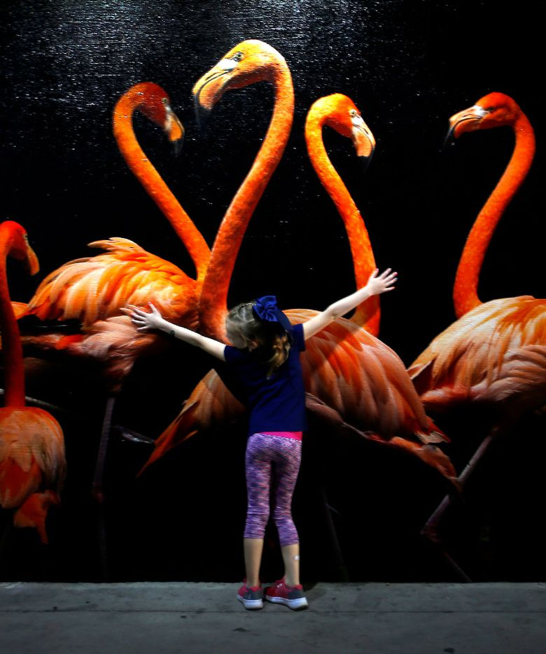 Brynn Gilliland, 7, stretches her arms in front of a photograph of American flamingo displayed in the tunnel during the National Geographic Photo Ark exhibit at Dallas Zoo in Dallas, Thursday, April 20, 2017. (Jae S. Lee/The Dallas Morning News)