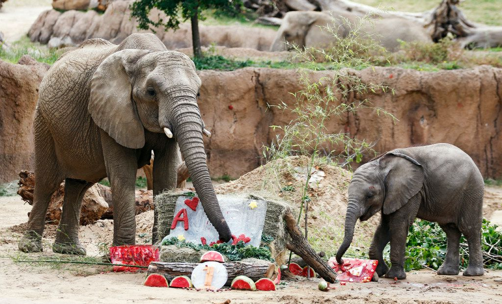 Ajabuâs eats from a spread of food in honor of his first birthday in the Giants of the Savanna at the Dallas Zoo in Dallas on Friday, May 12, 2017. Ajabu's mom Mlilo joins him in eating the food. (Vernon Bryant/The Dallas Morning News)