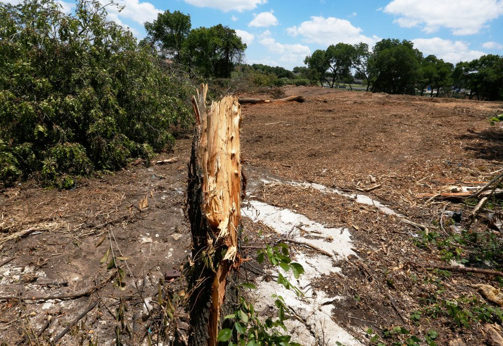 A tree stump remains upright Monday June 12, 2017 after approximately 70 protected trees where knocked down by the owners of the property at the southeast corner of Highway 67 and Ledbetter Dr. in south Oak Cliff. The demolition of the trees was halted by the City of Dallas since the property owners did not have permission for the demolition. (Ron Baselice/The Dallas Morning News))