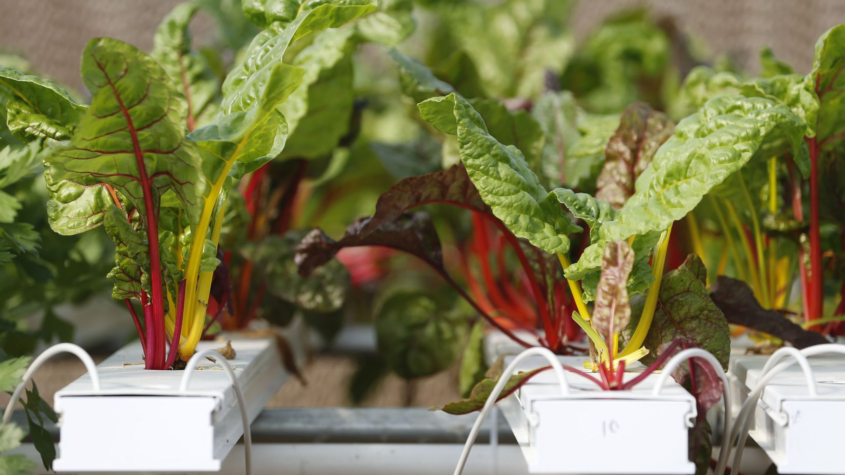 Swiss Chard is grown in a hydroponics system greenhouse at Profound Microfarms in Lucas, Texas, on Friday, Oct. 27, 2017.