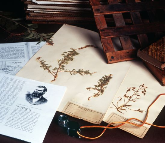 Original plant pressings from Julien Reverchon, who documented thousands of native Texas plants. Photograph taken at Botanical Research Institute of Texas in Fort Worth on July 31, 2003.