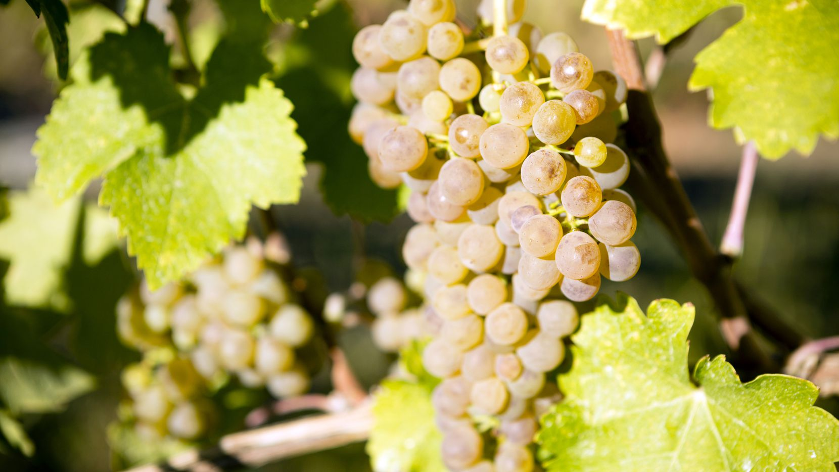 Viognier is a white wine grape variety.