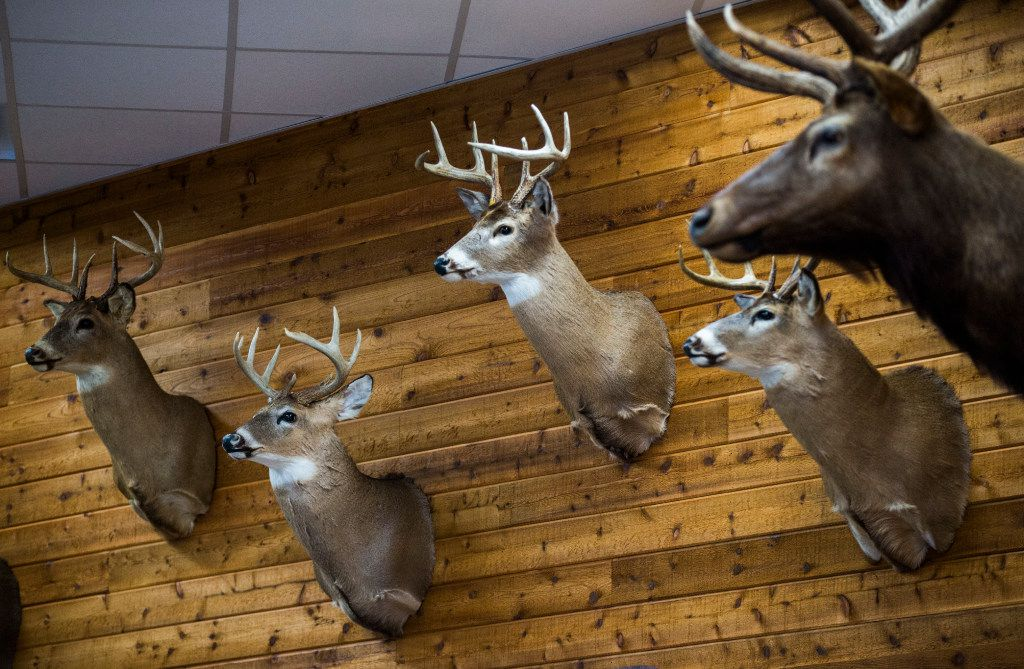 Heads of animals are displayed at a new Fuel City location on Friday, December 16, 2016 on Haltom Road in Haltom City. (Ashley Landis/The Dallas Morning News)