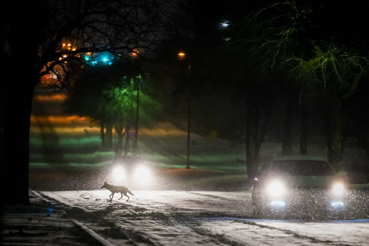 A fox crosses Plano Road between cars moving through the Spring Creek Nature Area as a second winter storm brought more snow and continued freezing temperatures to North Texas on Tuesday night, Feb. 16, 2021, in Richardson.