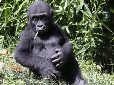 See how much baby gorilla Mbani has grown since last year at the Dallas Zoo. Through Feb. 28, ticket prices are reduced to $8 for ages 3 and up.