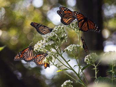 Monarch butterflies feed on nectar in the Texas Discovery Gardens at Fair Park in Dallas last October.