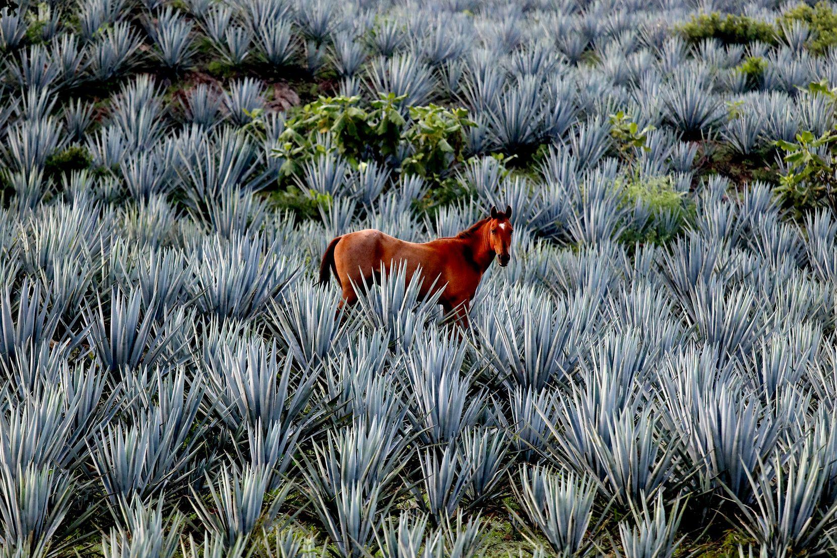 A horse grazes in a blue agave field in San Martin de las Canas, Jalisco.