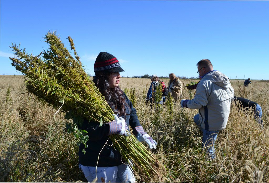 Texas allows farmers to grow hemp as an industrial crop, but marijuana remains illegal in the state. And it's still illegal under federal law even though many states have legalized it.