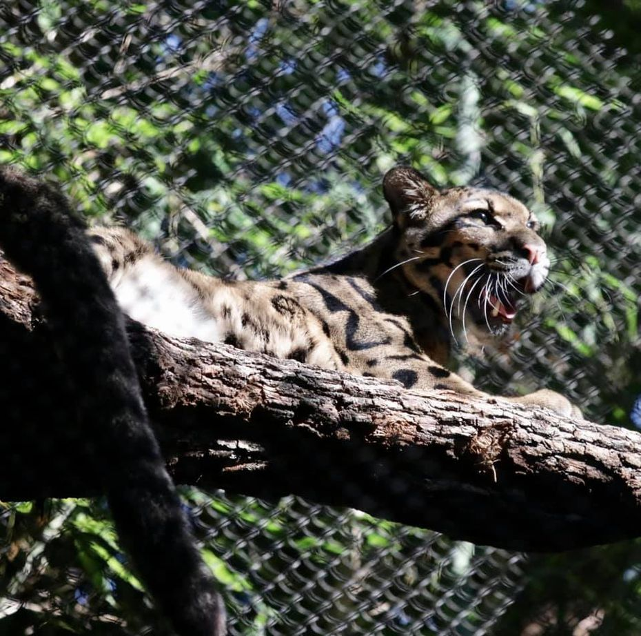 One of the clouded leopards rests on a log in its exhibit. The habitat was previously occupied by a primate and underwent renovations to become suitable for Luna and Nova.
