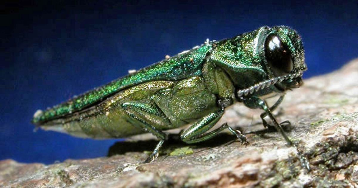Dallas-area environmentalists warn invasive beetle could be latest threat to Trinity Forest