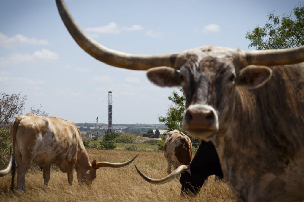 Longhorns near a new oil well being drilled in Karnes County, Texas, Aug. 7, 2015. No place in Texas produces more oil than Karnes County, but suddenly the roaring economy here is cooling fast.