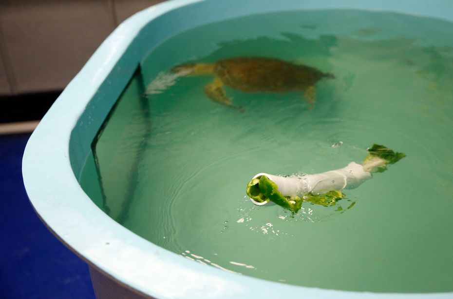 A piece of plastic tubing stuffed with bell pepper and bok choy floats in Frio's 500-gallon tank at Sea Life Grapevine's sea turtle rescue hospital. The idea is to make the sea turtle work for its food in anticipation that it will someday return to the wild.