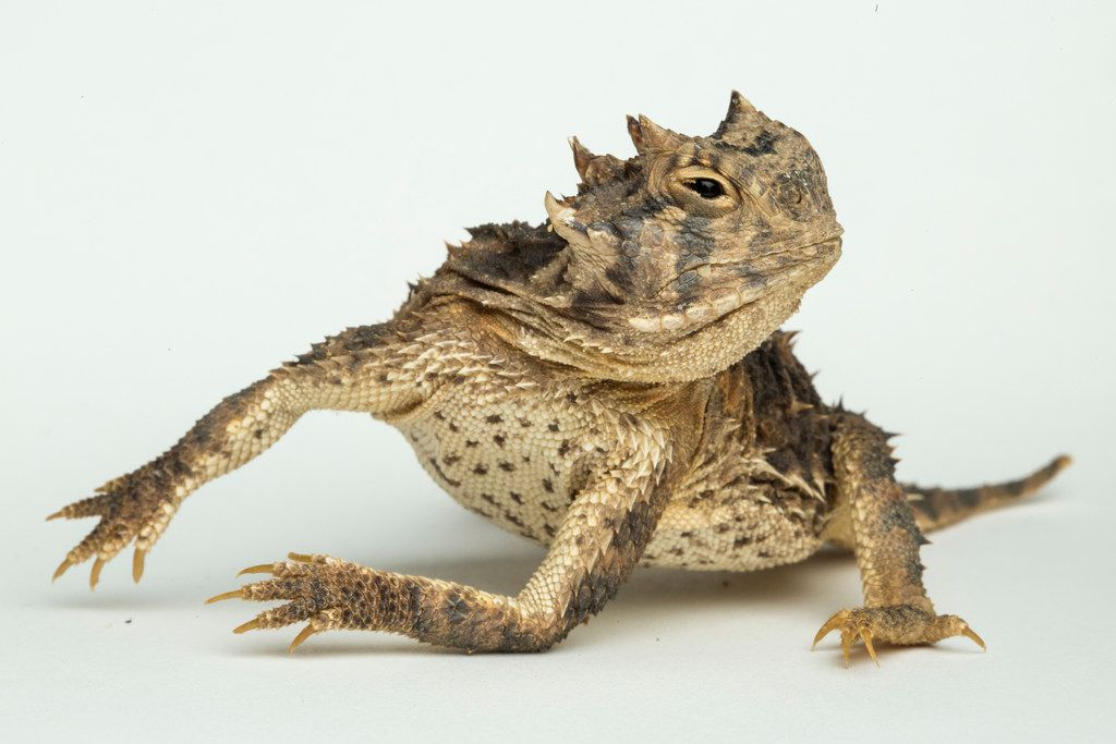 Texas horned lizard at the Fort Worth Zoo on Aug. 24, 2018.