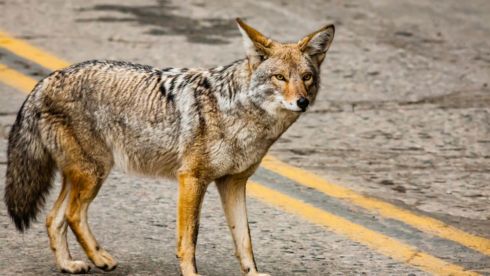 Coyote while crossing the street into Sequoia National Park