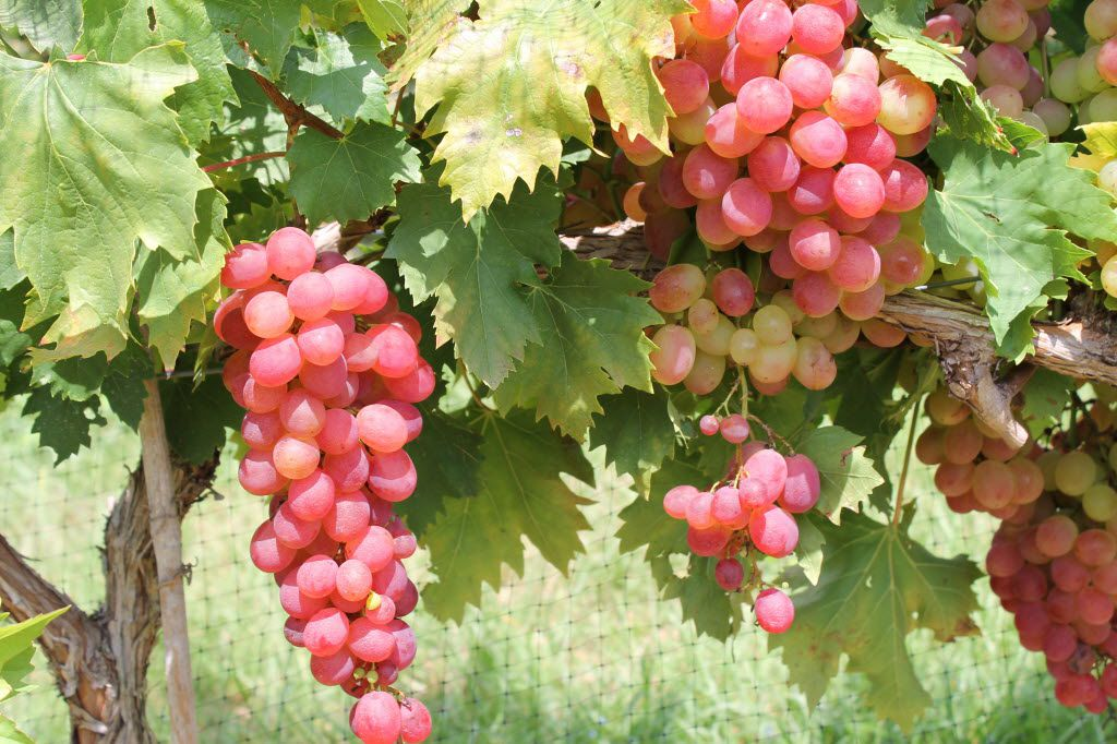 Victoria red grapes, one of the recommended varieties for growing at home.