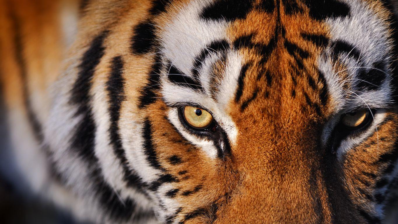 Un tigre adulto.