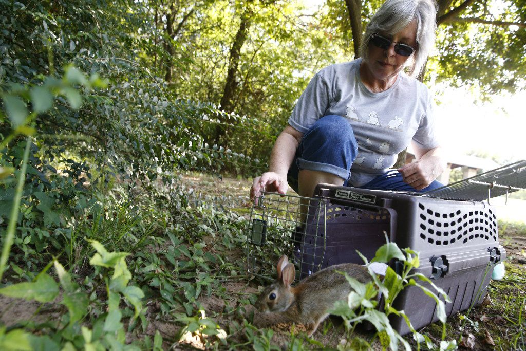 Diana Leggett released an Eastern Cottontail rabbit after being taken care of at South Lakes Park in Denton, Texas on July 29, 2017.   (Nathan Hunsinger/The Dallas Morning News)