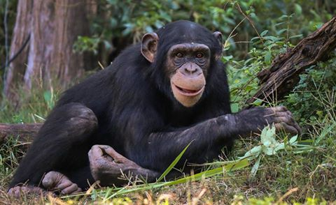 Kona, the Dallas Zoo's 7-year-old chimp that died Friday.
