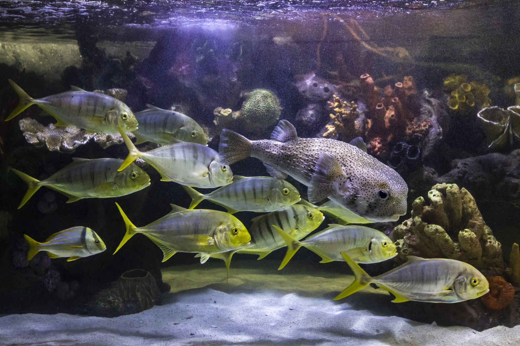 A variety of fish swim together in the coastal sharks exhibit at the Children's Aquarium at Fair Park in Dallas on Wednesday. If zoOceanarium is awarded the contract to operate the aquarium, it plans to begin sending additional fish to Fair Park in early July.