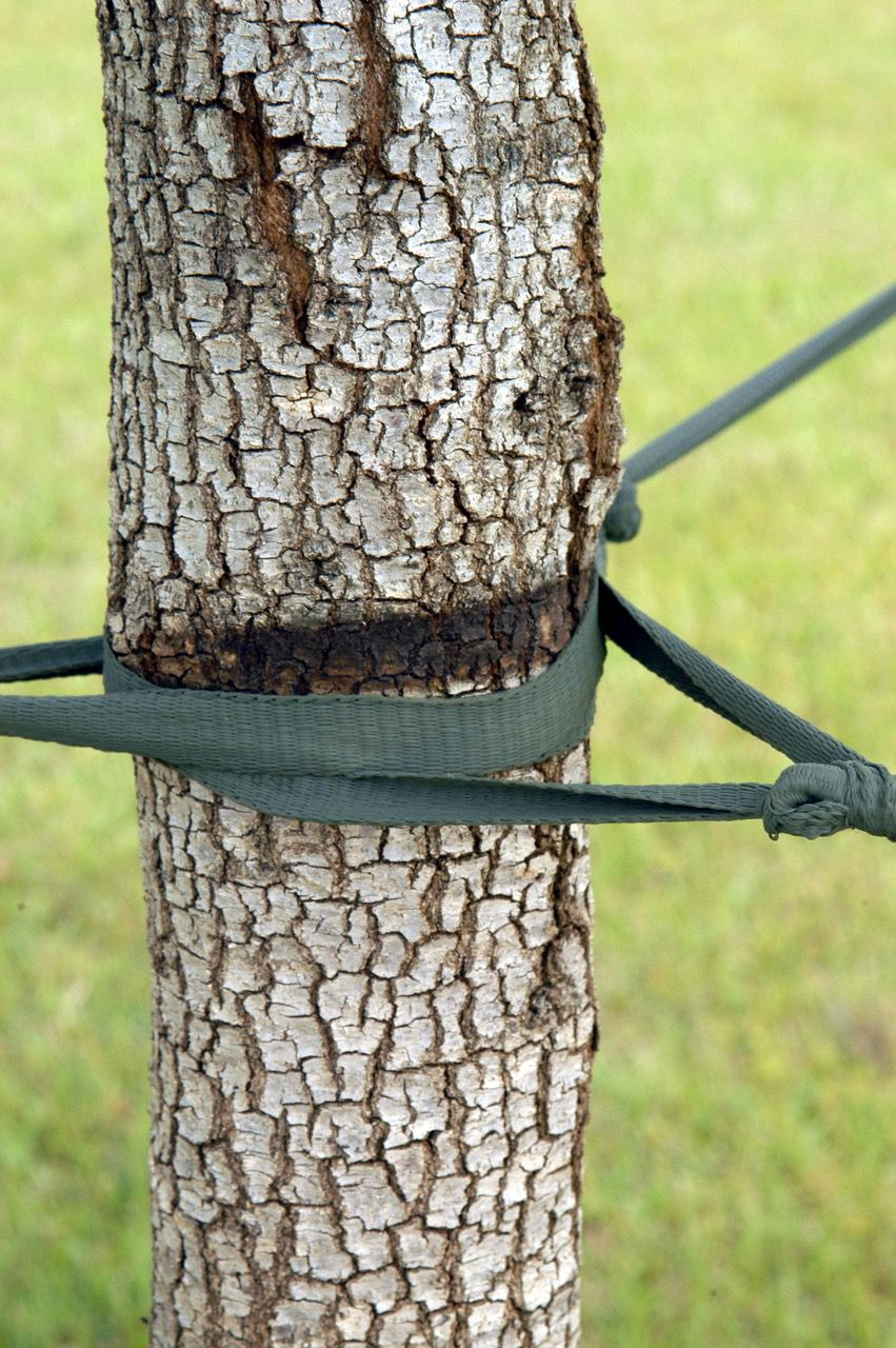 Tight staking damages the tree's cambium layer and often does severe trunk damage.