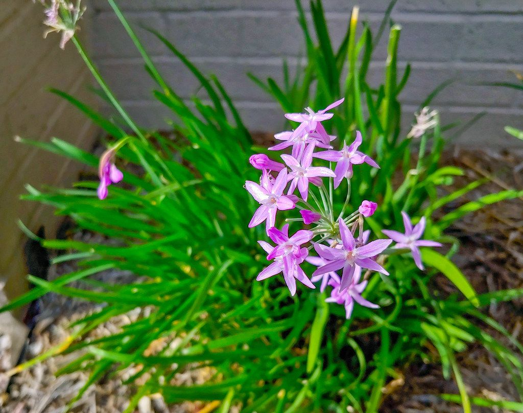 The charming flowers, stems and leaves of Society Garlic can be used similarly to onion or garlic chives.
